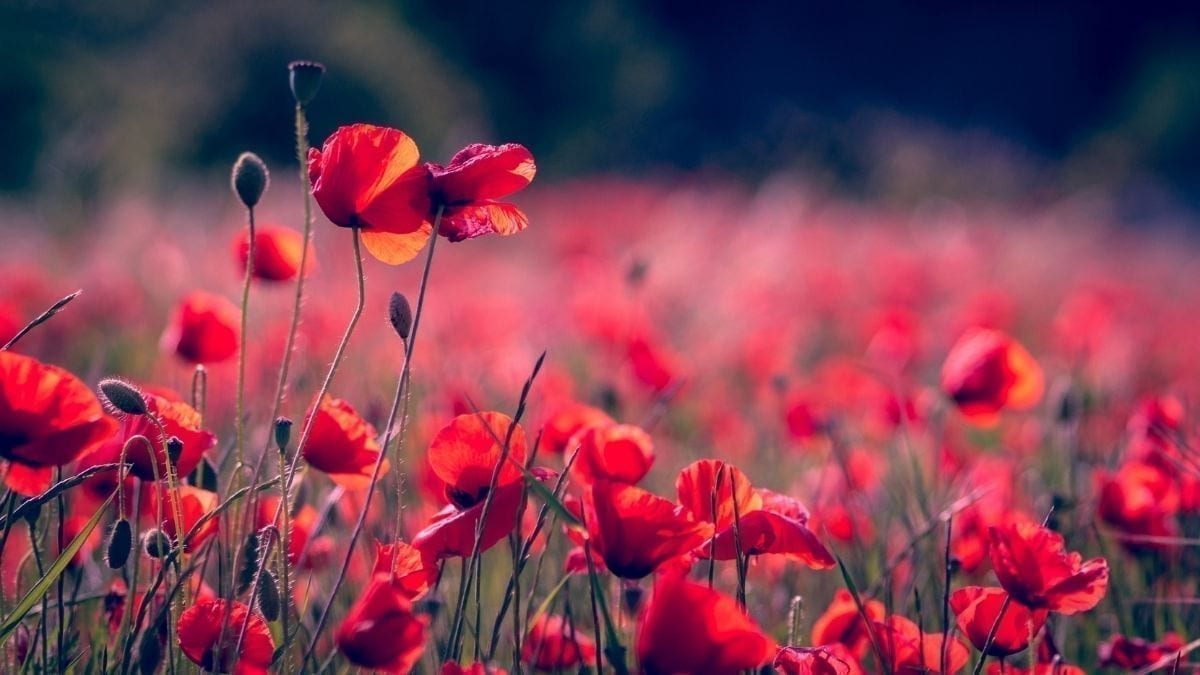 Poppies- Remembrance Day